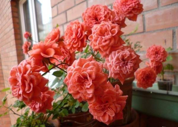 Роза orange juwel