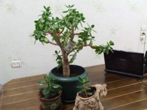 Как правильно посадить отросток денежного дерева