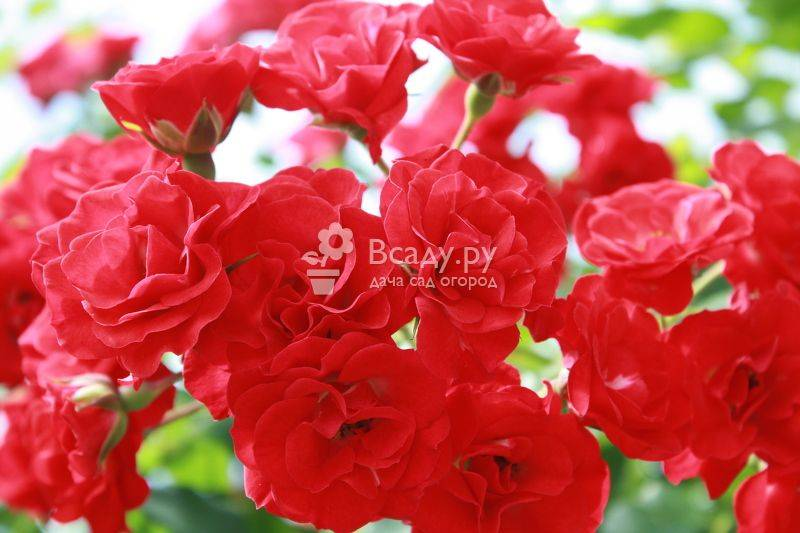 Розы виды и сорта