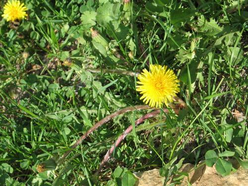 Одуванчик когда цветет