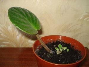 Как размножить фиалки листочками