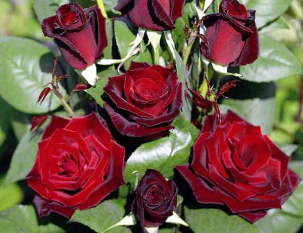 Черенкование роз из букета в домашних условиях