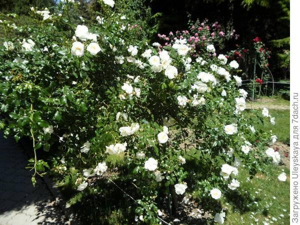 Роза стелющаяся