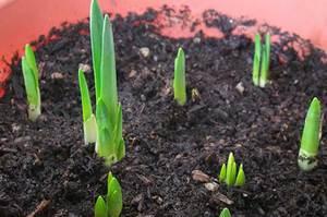 Пересадка тюльпанов осенью