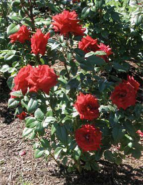Посадка роз весной
