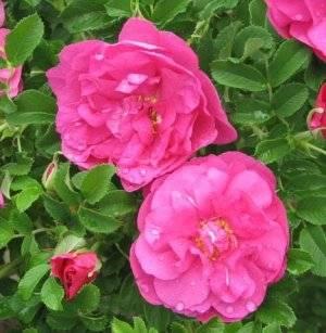 Роза царица севера