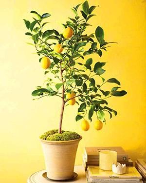 Семена лимона