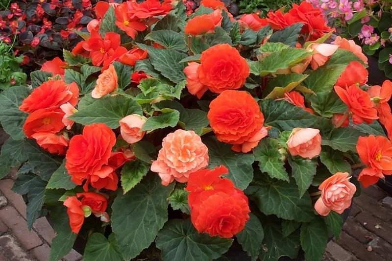 Как называется цветок похожий на розу