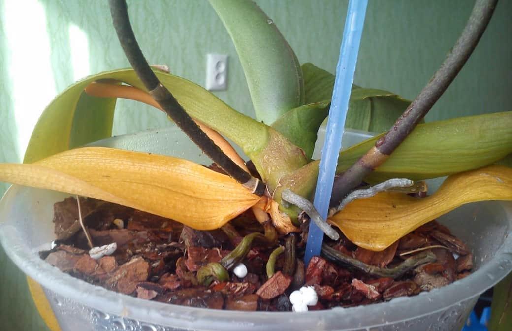 У орхидеи сохнут листья что делать