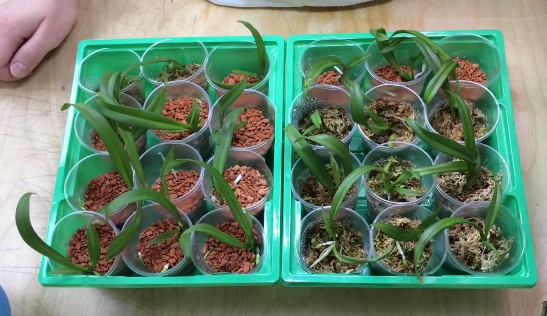 Как посадить орхидею из семян