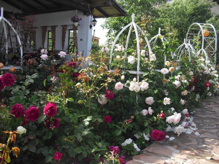 Розы дэвида остина сорта