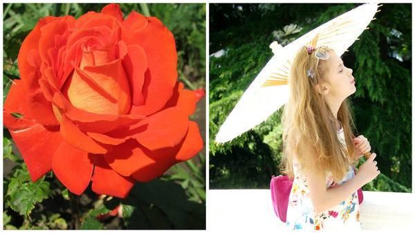 Роза красно жёлтая