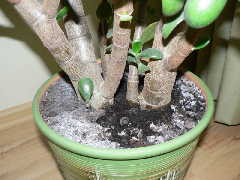Белый налет на растениях