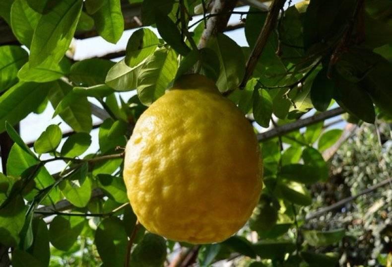 Сорта лимонов