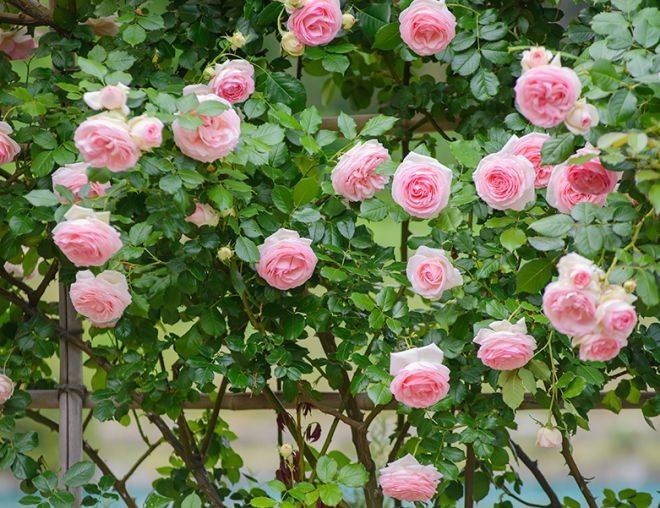 роза плетистая пьер де ронсар уход