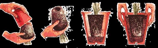 Комнатное растение молочай размножение