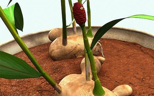 Как цветет имбирь в домашних условиях