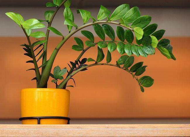 Как быстро растет замиокулькас