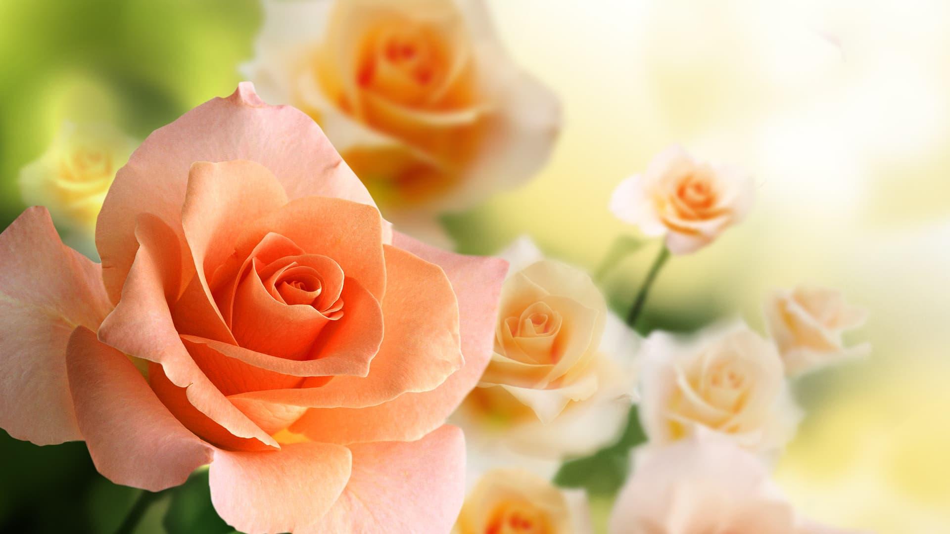Сколько живут розы