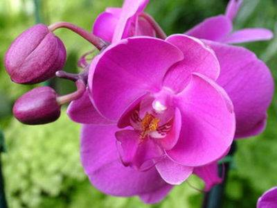 Орхидея в вазе без земли