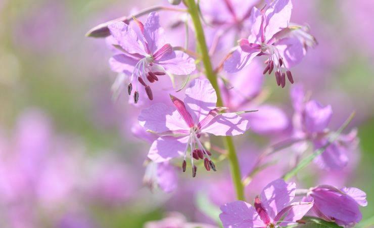 Цветы иван чая полезные свойства
