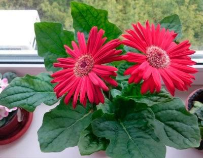 Цветок гербера уход