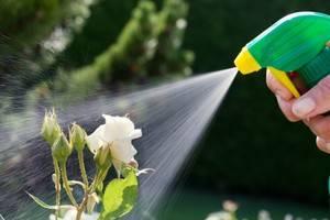 Как надолго сохранить срезанные розы в вазе