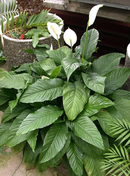 Почему у спатифиллума сохнут листья