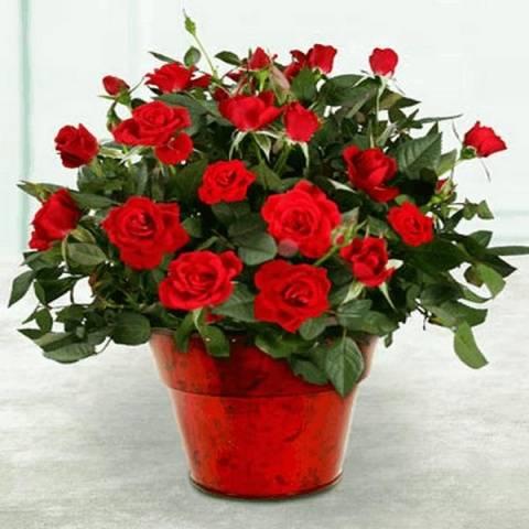 Новые сорта роз