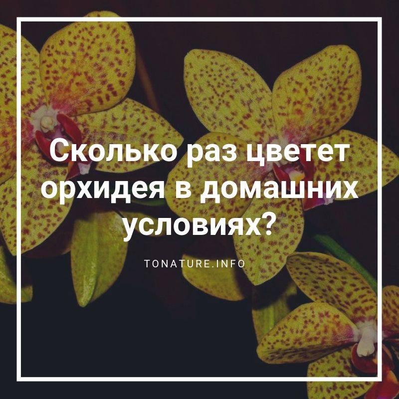 Сколько раз цветет орхидея