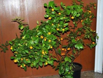 Каламондин можно ли есть плоды