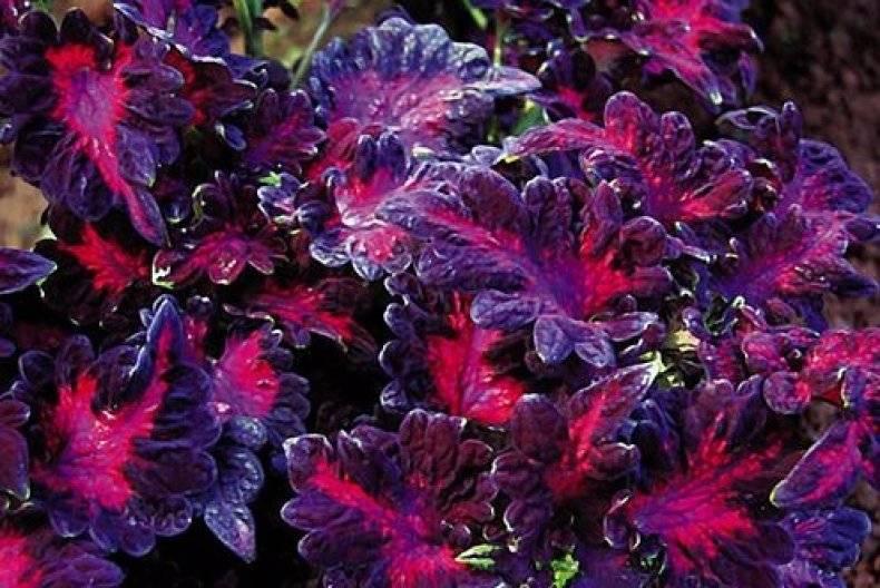 Coleus black beauty, traci steele nude picture