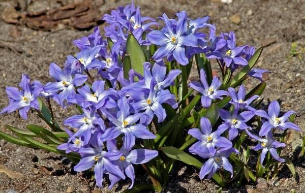Синие садовые цветы