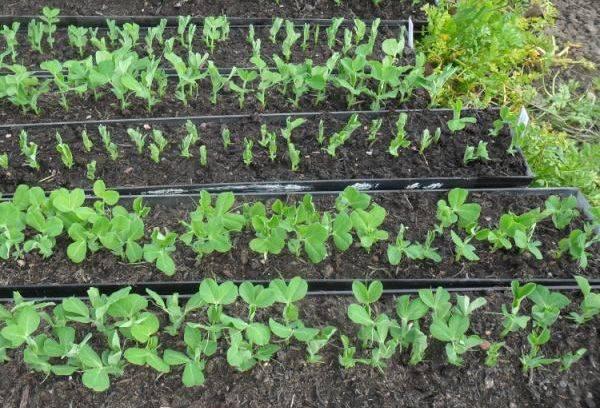 Обриетта как выращивать
