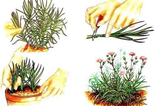 Гвоздика шабо выращивание из семян