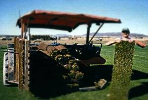 Когда и как сажать газонную траву