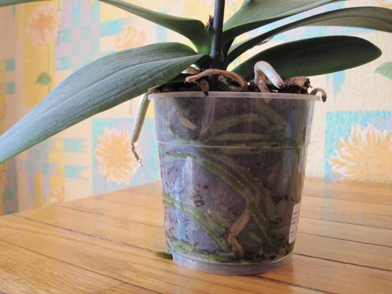 Как посадить орхидею в домашних условиях
