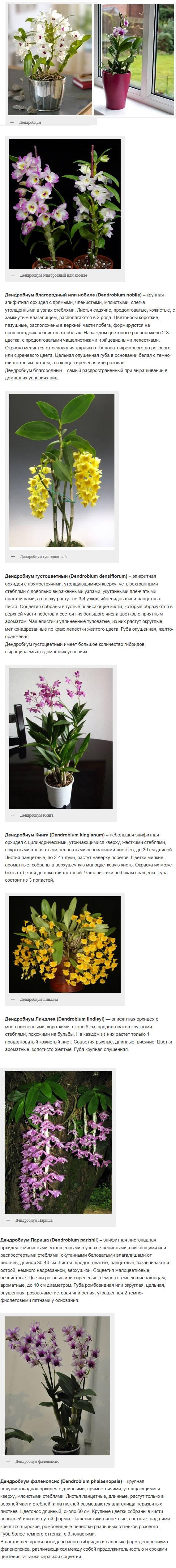 Орхидея бамбуковая уход в домашних условиях