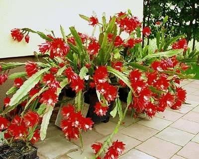 Эпифиллум кактус