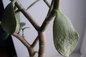 Почему денежное дерево сбрасывает листья и вянет