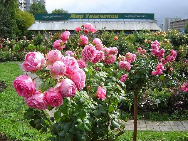 Pomponella роза