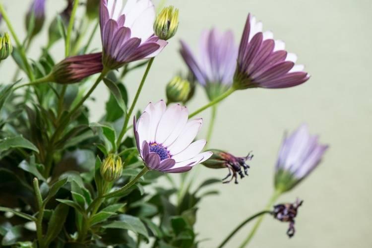 Цветы остеоспермум