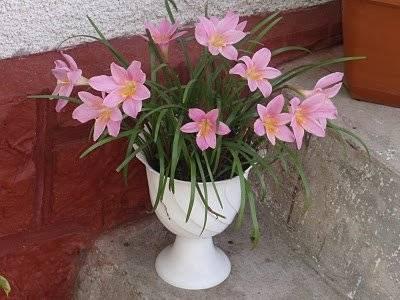 Комнатное растение выскочка