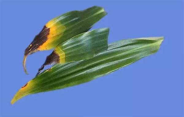Как спасти драцену желтеют и опадают листья