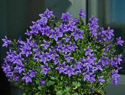 Кампанелла цветы