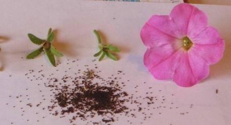 Как получить семена петунии