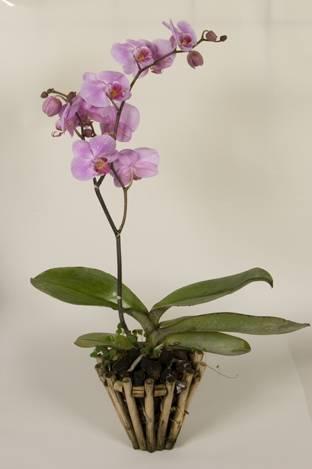 Родина орхидеи