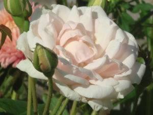 Разные розы