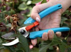 Как обрезать отцветшие розы