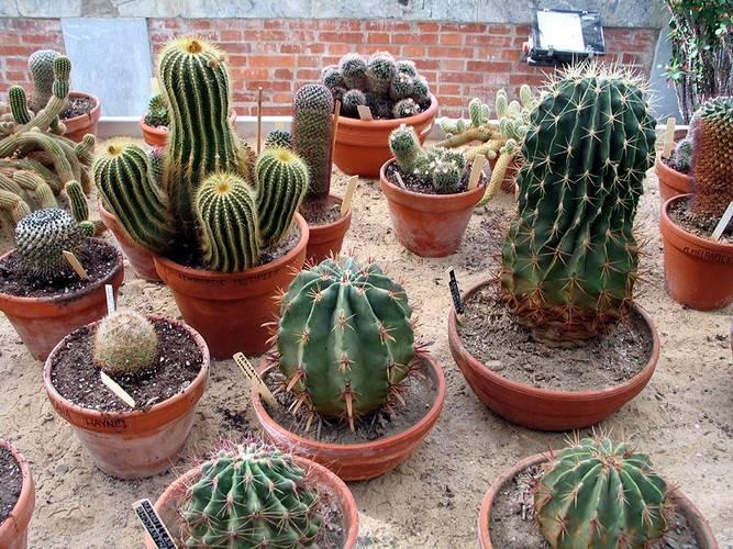 Разведение кактусов в домашних условиях